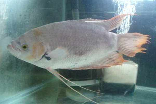 Supplier Ikan Gurame di Pontianak